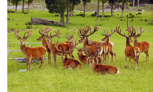 A mob of red deer